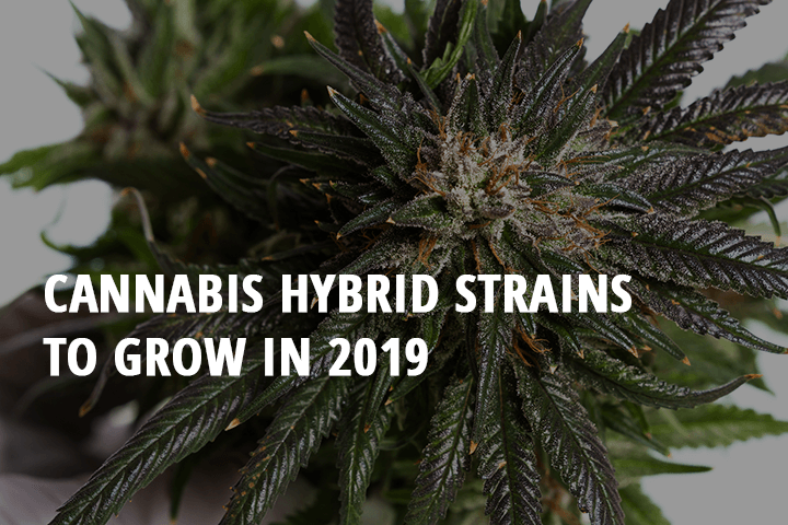 cannabis hybrid strains to grow in 2019