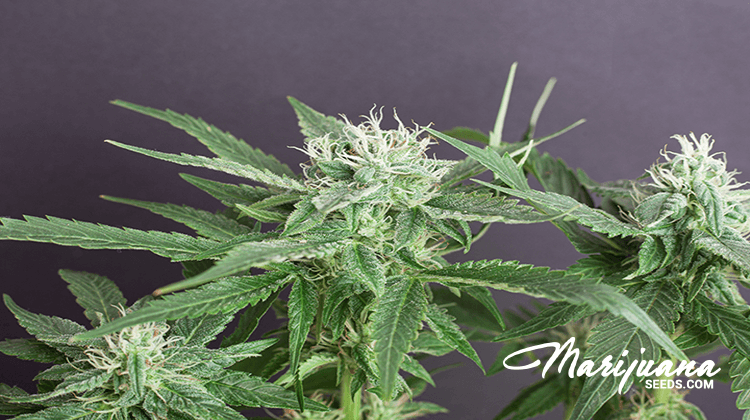 iron deficiency in cannabis that growers should worry about