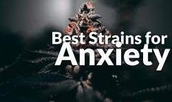 best marijuana strains anxiety