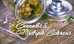 cannabis multiple sclerosis