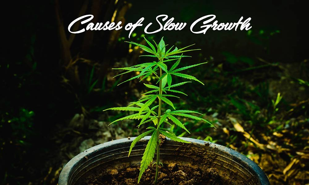 causes slow growth marijuana plants