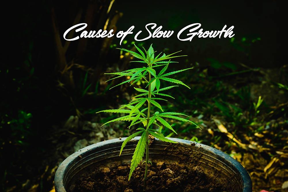 causes slow growth marijuana plants