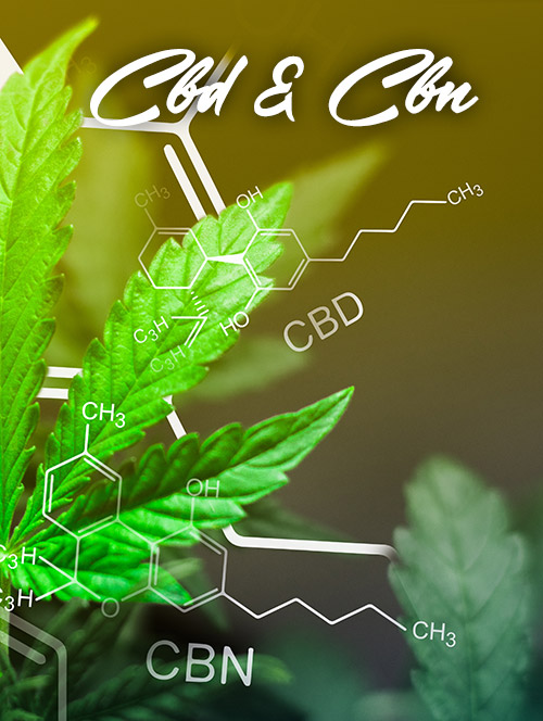 cbd cbn cannabis