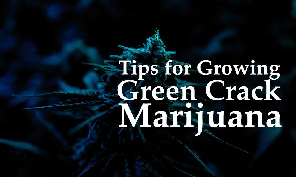 growing green crack marijuana