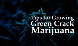 growing green crack marijuana