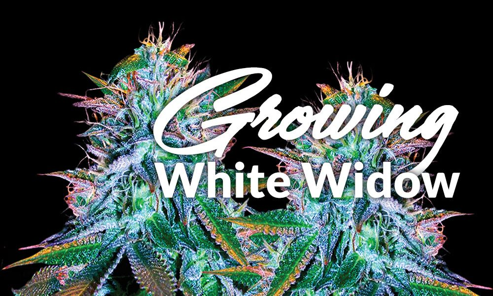 growing white widow
