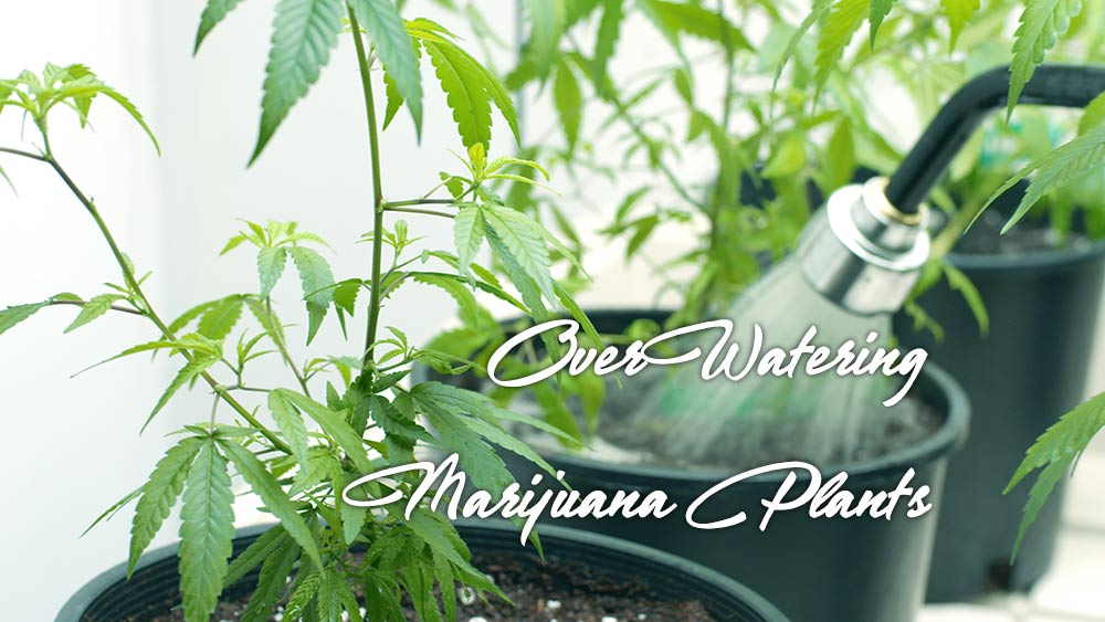 over watering marijuana plant