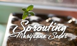 sprouting germinating marijuana seeds