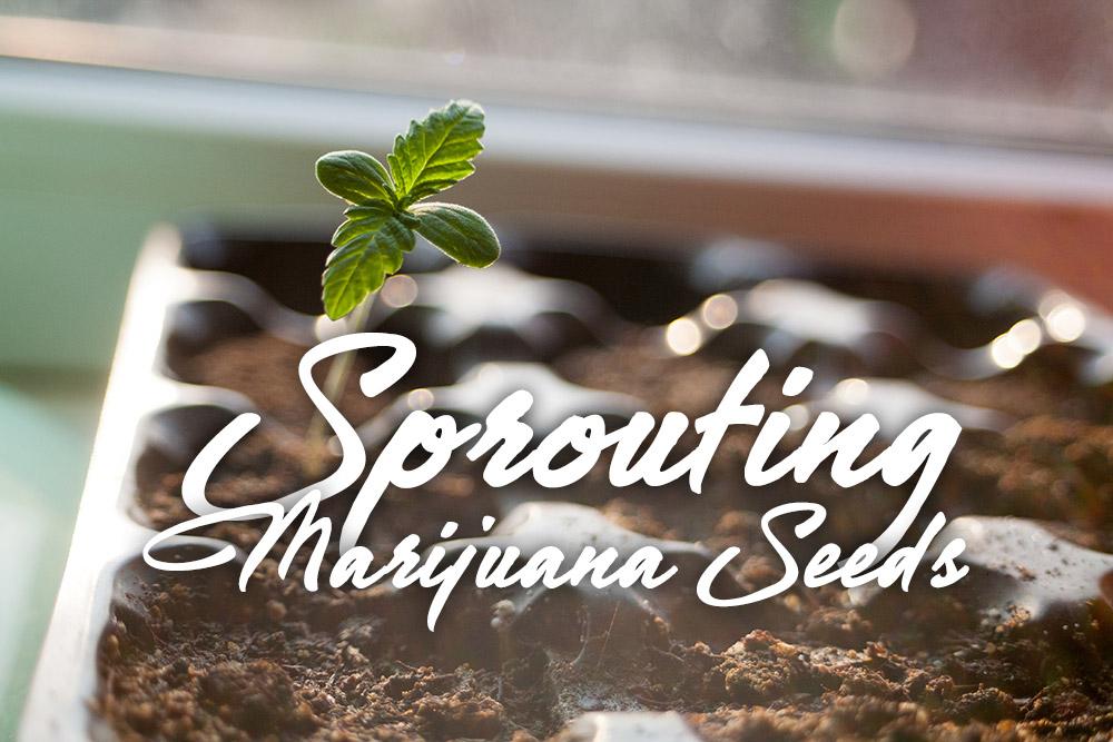 sprouting germinating marijuana seeds