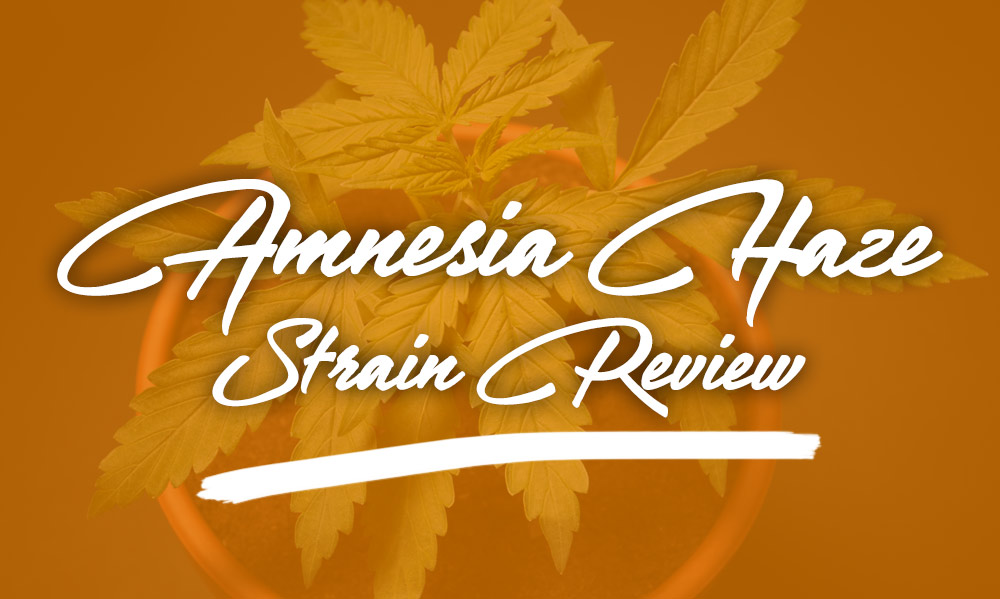 amnesia haze strain review
