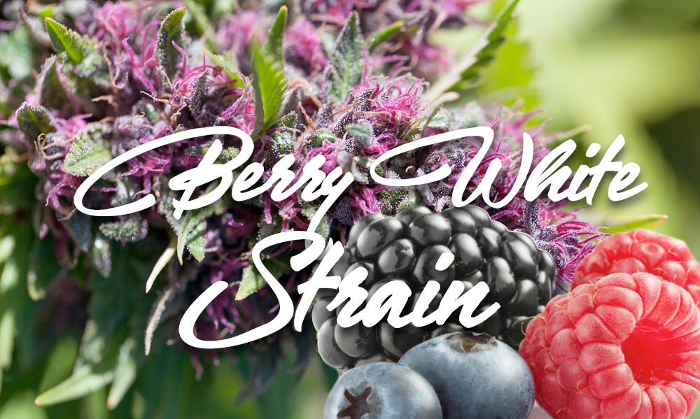 berry white cannabis strain