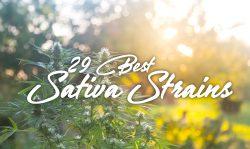 best sativa strains