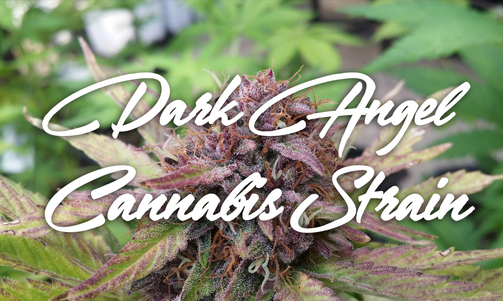 dark-angel-cannabis-strain
