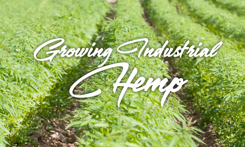 growing industrial hemp