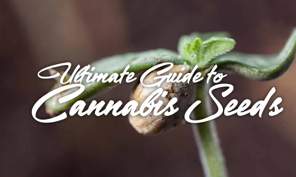 guide cannabis seeds