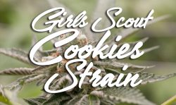 girl scout cookies strain