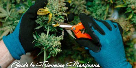 trimming marijuana guide
