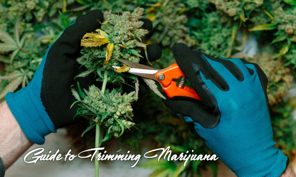 trimming marijuana guide