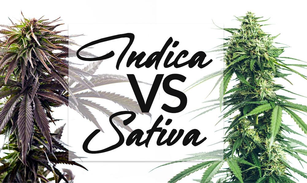 indica versus sativa