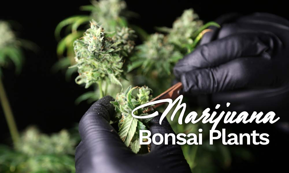 marijuana bonsai plants