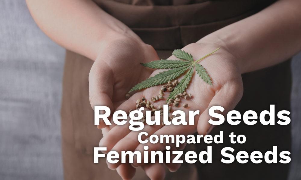 regular feminized seeds