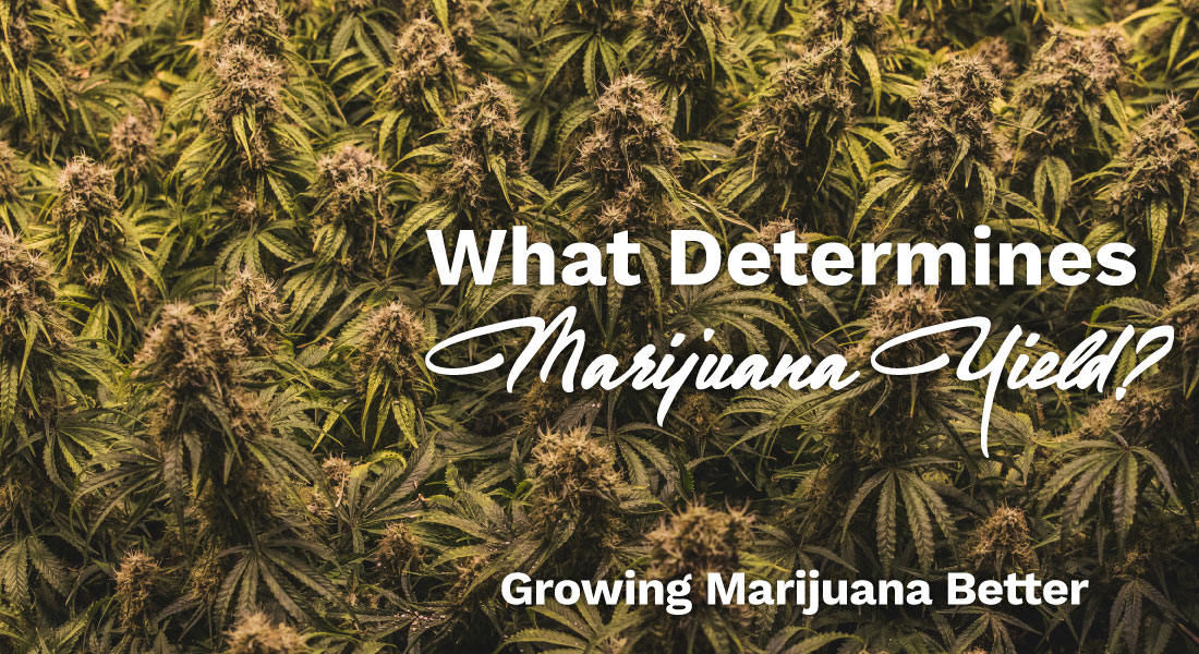 what determines marijuana yield