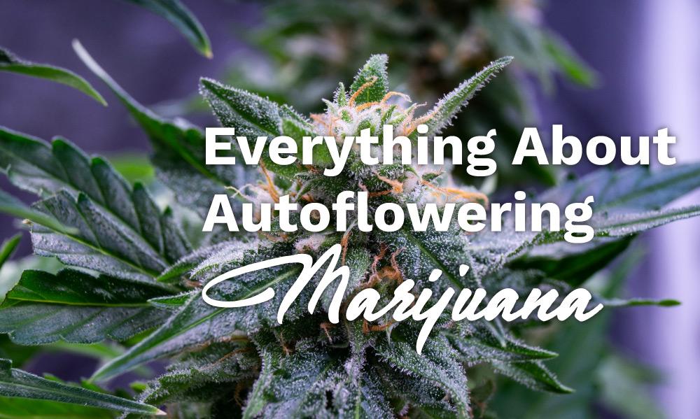 autoflowering-marijuana-strains