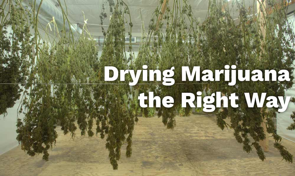 drying marijuana right way