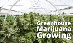 greenhouse marijuana growing