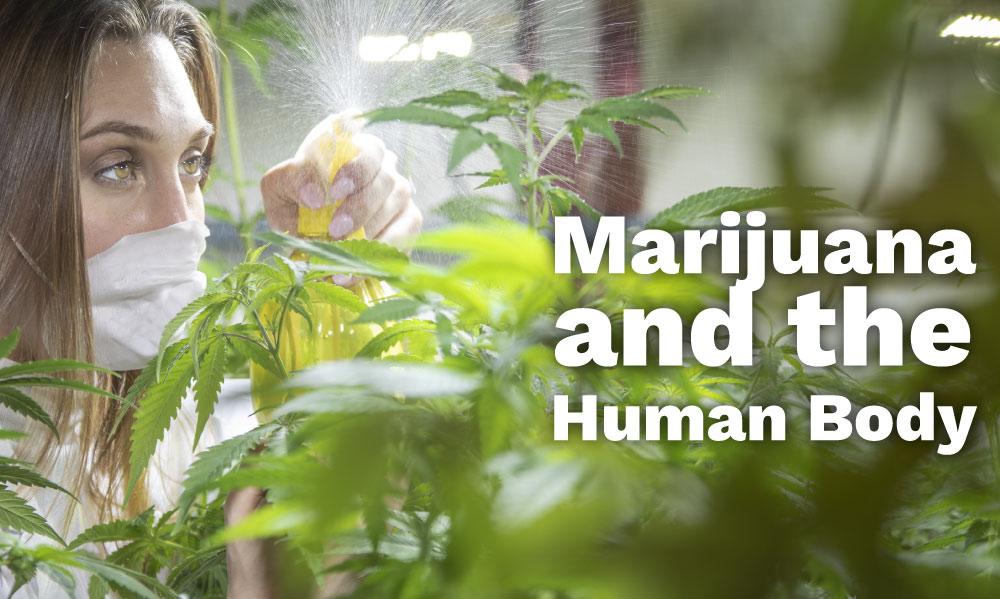 marijuana human body