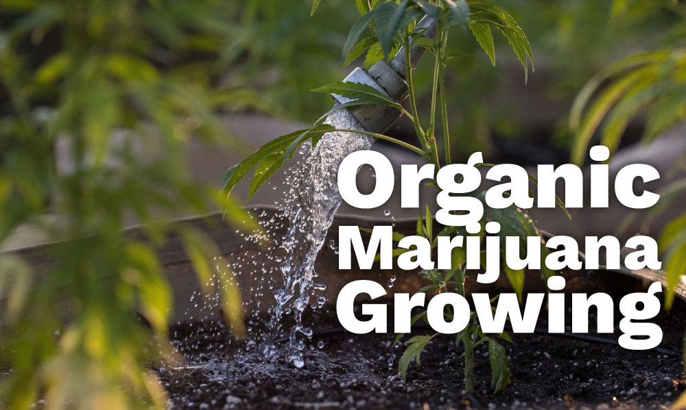 organic marijuana growing