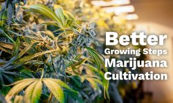 better marijuana cultivation