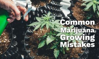 common marijuana growing mistakes