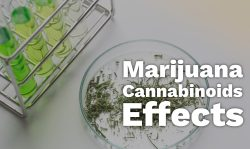 marijuana cannabinoid effects
