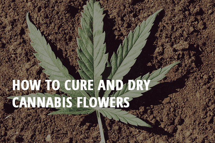 best way to cure and dry cannabis flowers