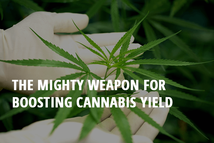 mighty weapon for boosting cannabis