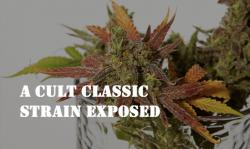 ak-47 cannabis strains, buy cannabis seeds