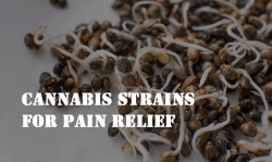 best cannabis strains for pain