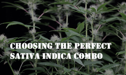 indica sativa cannabis strains