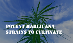potent marijuana strains, growing marijuana