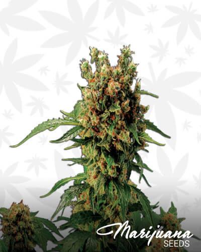 Californian Hashplant