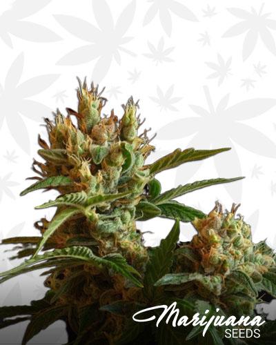 Hashish Plant