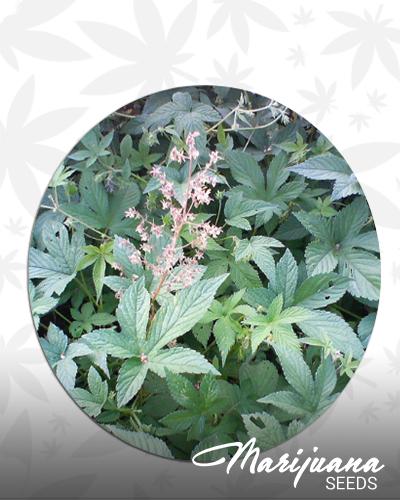 Humulus Japonicus (Aka: H. scandens)