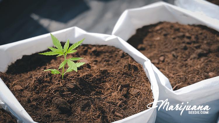 marijuana strains for glioblastoma multiforme