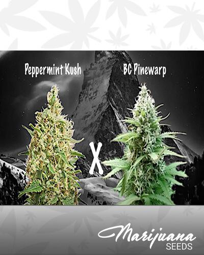 Peppermint Pinewarp